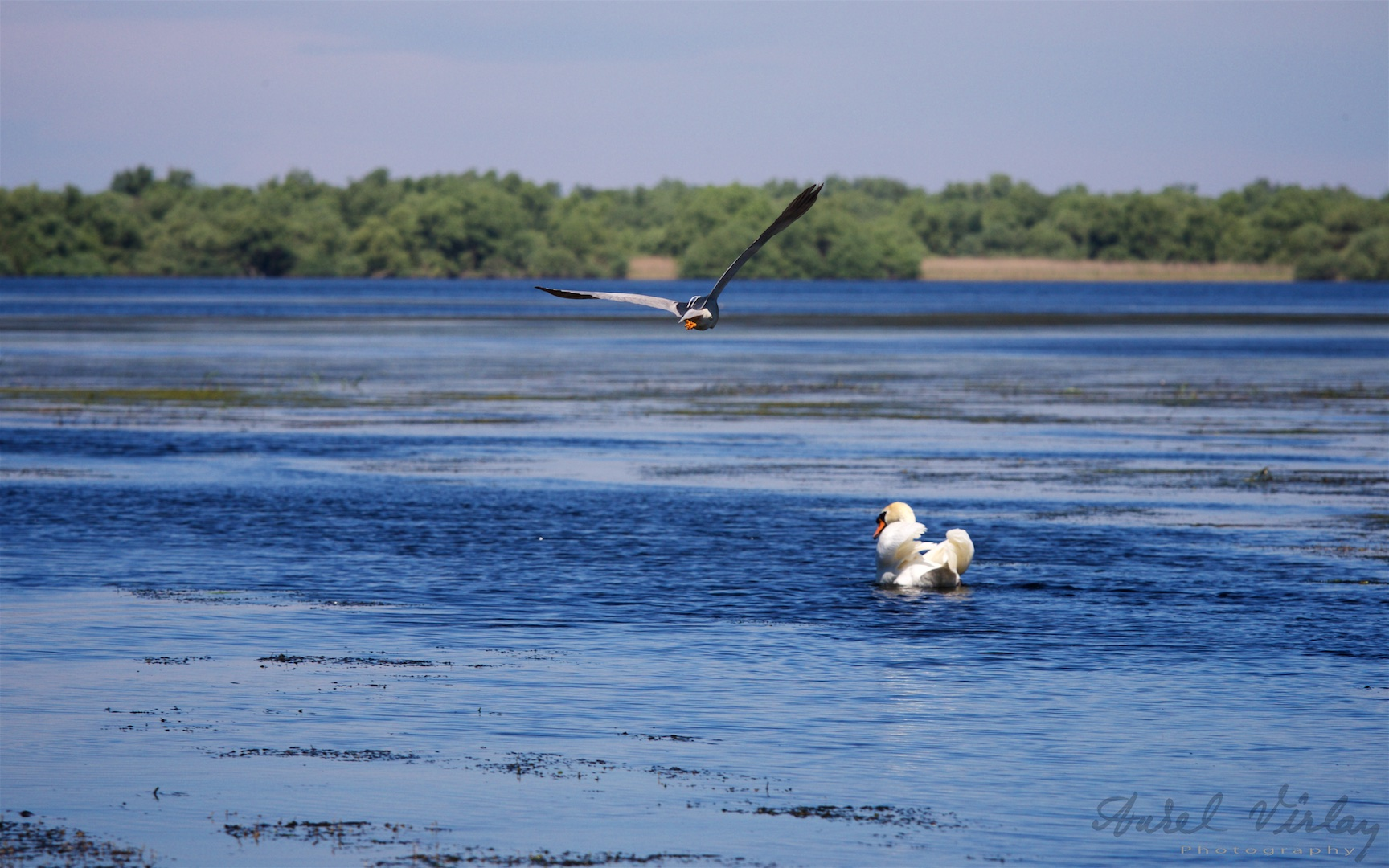 Lazy white swan and wild flying bird - emblematic picture of Danube Delta.