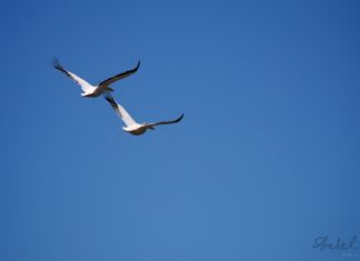Two pelicans on their tandem fly.
