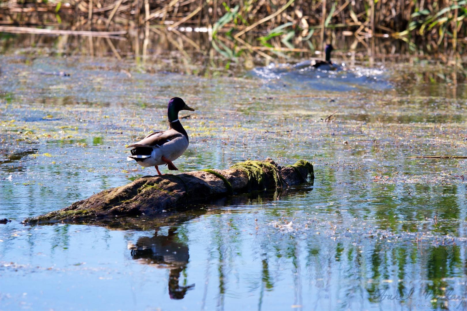 Wild ducks are common birds in Danube Delta.