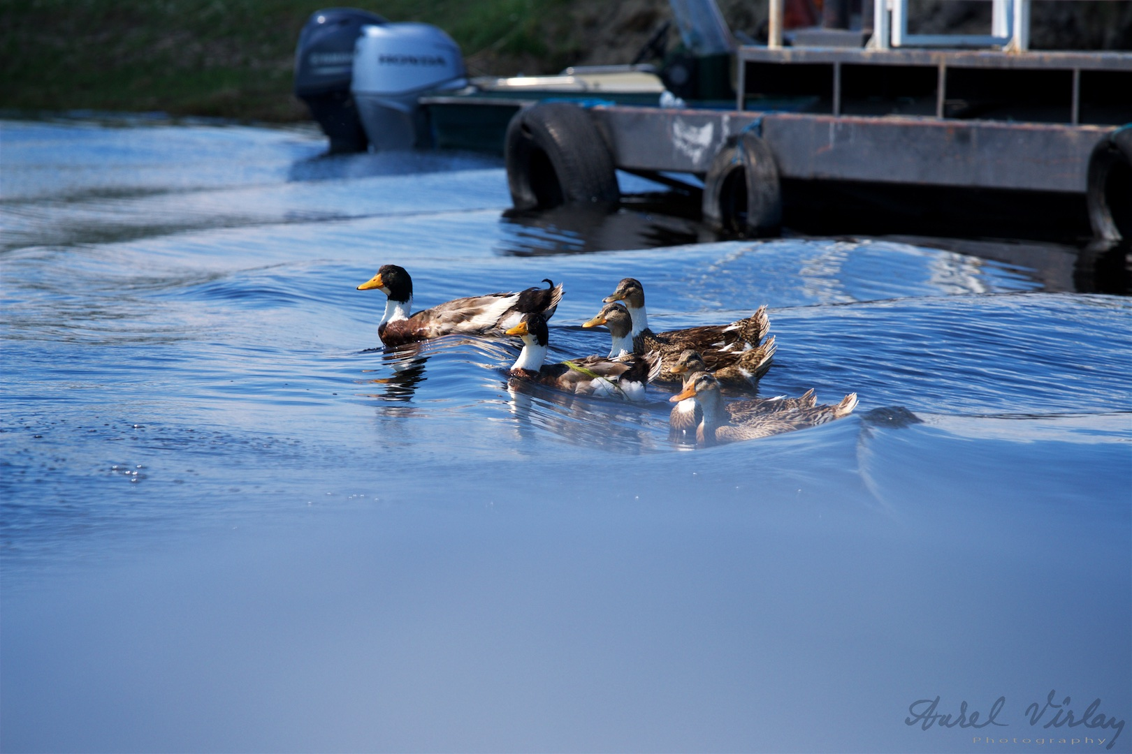 A family of wild ducks floating on the waves